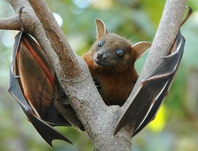 非洲出血热病毒在多种非洲蝙蝠中广泛传播